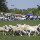 A flock of sheep graze on Hutchinson field